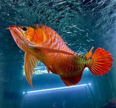 "FreshWater Fish Community's Instagram photo: ""Reposted from @tampingpingping #arowana #scleropagesformosus #dragonfish #indonesiafish #monsterfish #monsterfishtank #monsterfishkeeper…"""