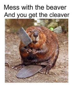 girl, are you a beaver? Cause Dam - beaver Funny Animal Pictures, Funny Images, Funny Animals, Cute Animals, Small Animals, Castor Animal, Funny Cute, The Funny, Canada Memes