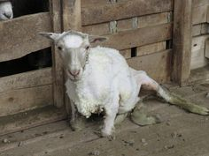 Patagonia's 'Sustainable Wool' Supplier Exposed: Lambs Skinned Alive, Throats Slit, Tails Cut Off