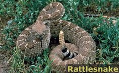 The Rattlesnake is a pit viper found almost everywhere in the United States, and is capable of a deadly bite. Its trademark rattle strikes fear into anyone who hears it.