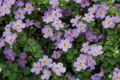Bacopa Blue - Full Sun - spreads 40cm - Flowers year round. Tough.