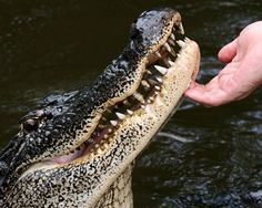 Honey Island Swamp has everything from alligators (which number over 1 million in the state of Louisiana), bald eagles, cougars,  feral hogs and raccoons.