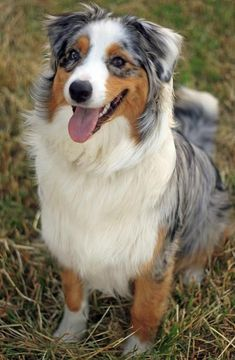 53 Trendy Dogs And Puppies Border Collies Australian Shepherd - Pets - Australian Shepherds, Aussie Shepherd, Beautiful Dogs, Animals Beautiful, Cute Animals, Hello Beautiful, I Love Dogs, Cute Dogs, Aussie Dogs