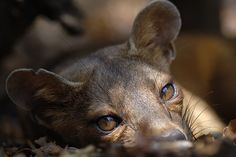 """A Fossa.""  (Cryptoprocta ferox.) Endemic to Madagascar: A 'Cat-Like' Carnivorous Mammal."