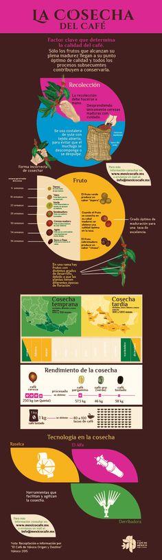 La cosecha del café es un factor clave que determina la calidad del mismo. Sólo los frutos que alcanzan su plena madurez llegan a su punto óptimo de calidad y todos los procesos subsecuentes contribuyen a conservarla.