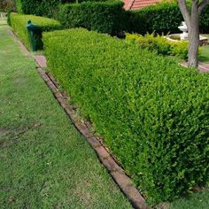 Wintergreen Japanese Boxwood Hedge Seeds (Buxus microphylla) Wintergreen boxwood is excelle Boxwood Landscaping, Large Backyard Landscaping, Boxwood Hedge, Landscaping Ideas, Landscaping Borders, Luxury Landscaping, Traditional Landscape, Contemporary Landscape, Gardens