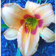 Another day lilly in my flower garden