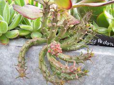 Euphorbia flanaganii