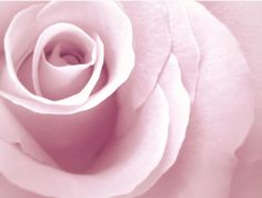 Pale Pink Rose Art Print  Large Wall Art  by DElisePhotography