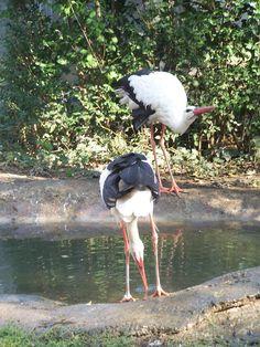 Storks, Birds, Holidays, Animals, Holidays Events, Animales, Animaux, Holiday, Bird