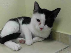 TO BE DESTROYED 12/21/13 Brooklyn Center  NEPTUNE.  ID # is A0987609. Male black/white domestic mix. The shelter thinks I am about 2 YEARS  I came in the shelter as a OWNER SUR on 12/17/2013 from NY 11412, owner surrender reason stated was OWNER HOSP. Neptune and his entire family, 9 altogether, desperately need safe haven after being abandoned and betrayed by their caregiver…