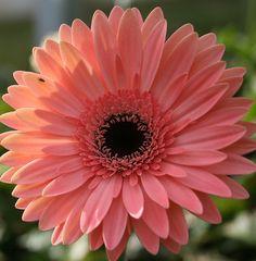 Pink gerbera daisy@Nikya Stone Smith. this?