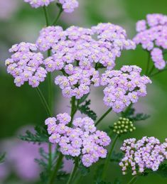 Buy Achillea millefolium 'Lilac Beauty' from Sarah Raven: A stunning plant with beautiful lilac flowers which fade to pink with age. A must for your border. Lilac Flowers, Cut Flowers, Biennial Plants, Plant Delivery, Achillea Millefolium, Summer Plants, Flower Landscape, Hardy Perennials, Back Gardens
