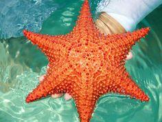 Las estrellas de mar en peligro por el cambio climático: