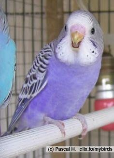 purple parakeet Hmm . . . new necklace colour? #TattyDevineLilac