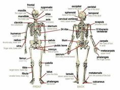 Detailed human skeleton diagrams health medicine and anatomy bones from the body ccuart Choice Image