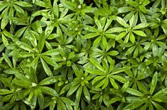 Shade Tolerant Herbs For Your Herb Garden: Lemon Balm - Sweet Woodruff - Ginger - Chives - Parsley - Mint - Angelica Moon Garden, Forest Garden, Woodland Garden, Dream Garden, Shade Garden, Garden Plants, Herb Gardening, Vegetable Garden, Sweet Woodruff