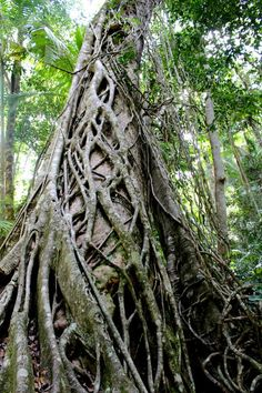 Steph Cowley captures a Strangler Fig in full glory at Central Station.  Cool Dingo guided 2 and 3-day tours of Fraser Island #cooldingo #fraserisland #queensland #australia