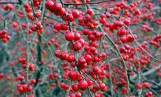 How to grow crab apple trees | Alys Fowler