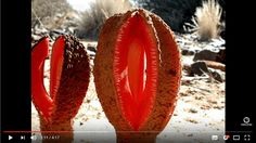 Hydnora africana: an unusual melon-colored, parasitic flower that attacks the nearby roots of shrubbery in the arid deserts of South Africa. The putrid-smelling blossom attracts herds of carrion beetles.