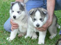 Two Males and Two Females Siberian Husky Puppies For Adoption.I have three Siberian husky puppies for adoption, one male and two females, vet checked, AKC registered, Siberian Husky Puppies, Siberian Huskies, Yorkie Puppy, Husky Puppy, Cute Baby Husky, Baby Huskys, Cute Puppies, Dogs And Puppies, Puppy Husky