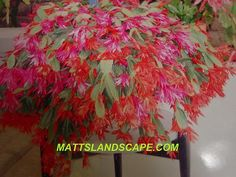 General Growing Requirements for Schlumbergera (Also called Christmas Cactus or Zygo Cactus.)