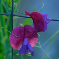Sweet pea  Latin name: Lathyrus odoratus and cvs.