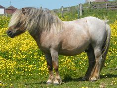sooty flaxen chestnut roan Miniature Ponies, Pony Breeds, Mini Pony, Cute Ponies, Most Beautiful Horses, Backyard Sheds, Pony Party, Small Breed, Horse Love