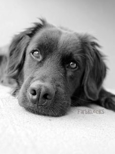 I found this photograph in a treasury on Etsy..this dog looks so sweet!  http://www.etsy.com/listing/81089242/dog-photograph-labrador-photo-black-and?ref=tre-744113184-6