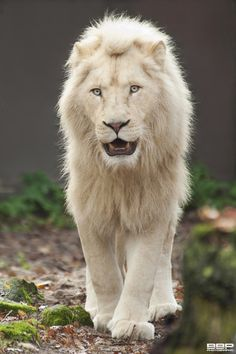 This white lion is so beautiful but I don't think he is albino because he doesn't have red eyes