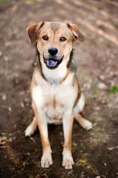 Rusty NY is an adoptable Chow Chow Dog in Armonk, NY. Rusty is a 3 Year Old Neutered Male Chow / Shepherd Mix. For more information on our dogs and cats, please go to our website, www.adoptadog.org...