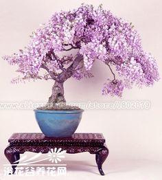 20 STÜCKE seltene japanischen glyzinien bonsai baum samen, topfblumensamen, Indoor mehrjährige zierpflanzen für DIY haus & garten