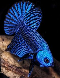 Betta fist are a fun beautiful fish that many people can have in their home with minimal effort. Coral Aquarium, Betta Aquarium, Colorful Fish, Tropical Fish, Fish Tank Themes, Betta Fish Types, Cool Fish, Beta Fish, Siamese Fighting Fish