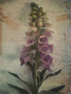 Foxglove by Sarah Jarrett, via Flickr