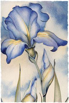 Sky Iris by Jody Bergsma Watercolor Pencil Art, Watercolor Flowers, Watercolor Paintings, Iris Painting, Silk Painting, Flower Art Drawing, Iris Drawing, Botanical Art, Art Drawings