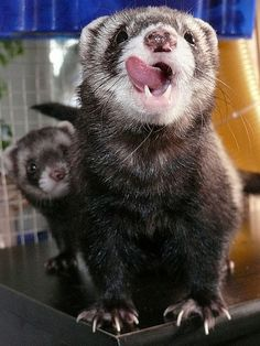 A dry pelleted feed is the best option to feed your ferret. Ferrets need to always have food available free choice as they naturally eat multiple small meals throughout the day.