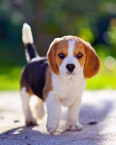 Are you interested in a Beagle? Well, the Beagle is one of the few popular dogs that will adapt much faster to any home. Cute Beagles, Cute Puppies, Dogs And Puppies, Begal Puppies, Cute Funny Animals, Cute Baby Animals, Animals And Pets, Baby Beagle, Beagle Puppy