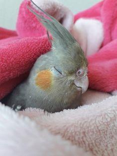 Cockatiel, Budgies, Cute Birds, Cute Cartoon Wallpapers, Adorable Animals, Parrot, Corner, Smile, Random