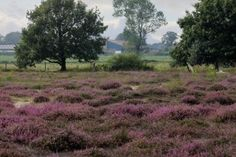 Ligging: ten zuiden van TilburgOpmerkelijk: voor Brabant spectaculair hoogteverschil van 5 meter De Regte Heide, kijkt uit op de skyline van Tilburg. Maar,... Flora, Skyline, Country Roads, Plants, Travel, Pagan, Trips, Traveling, Plant