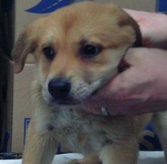 Meet Gunther, a Rottweiler/Great Pyrenees mix puppy searching for a loving home! He and his siblings were born on October 30. They're lap-sized now, but they won't be for long! They are going to big, happy dogs.    Adoption fee covers microchip, DAPP, Rabies, spay/neuter.  Adoption fees also allow us to continue saving animals. Please email Candace Thompson at  candilynn2010@yahoo.com for more information.    If you are interested in adopting, please fill out an adoption application at…