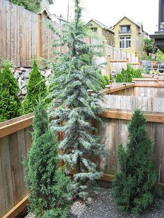 dwarf upright blue atlas cedar