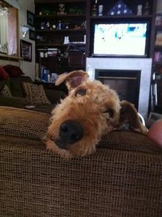 Airedale TerrierDogs| Airedale Terrier Dog Breed Info & Pictures | petMD