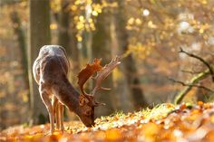 Fallow Deer in Autumn Mood by Roeselien Raimond on 500px