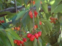 Brentwood Cherry Picking  Pick or Picked Fruits & Vegetables Year-round