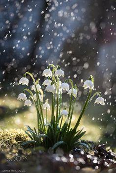 Spring snowdrops 5 by Alenka Krek on 500px