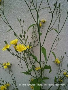 Nipplewort - Plant Categories - The Tortoise table