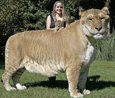 Liger - a hybrid between a lion and a tigress, this gorgeous animal would scare me to death!  How big and beautiful she is!