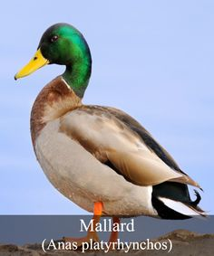 National bird control company providing humane and effective solutions to protect our nation's architectural and historic treasures from pest bird problems Mallard, Bird Species, Separates, Ducks, Color Black, Breast, Birds, Japanese, Gray