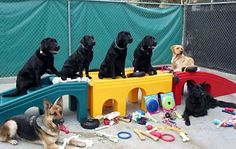 Guide Dogs of America (GDA) dogs in training.