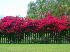 Bougainvillea on the fence